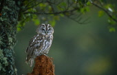LOOKING OVER TO A TAWNY OWL (STRIX ALUCO) PERCHED ON A ROTTEN ALDER STUMP, THE BADENOCH AND STRATHSPEY DISTRICT, HIGHLAND. PIC: PETER CAIRNS/SCOTTISH VIEWPOINT Tel: +44 (0) 131 622 7174   Fax: +44 (0)... PUBLIC, NMR SUMMER,MOSS,LICHEN,BIRD,FAUNA,WOODLAND