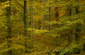 LOOKING OVER TO THE VIBRANT AUTUMNAL COLOURS OF A BIRCH WOODLAND, THE BADENOCH AND STRATHSPEY DISTRICT, HIGHLAND. PIC: PETER CAIRNS/SCOTTISH VIEWPOINT Tel: +44 (0) 131 622 7174   Fax: +44 (0) 131 622... PUBLIC, NMR FORESTRY,AUTUMN,WOOD,TREE TRUNK