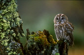LOOKING OVER TO A TAWNY OWL (STRIX ALUCO) PERCHED ON A ROTTEN BIRCH STUMP, THE BADENOCH AND STRATHSPEY DISTRICT, HIGHLAND. PIC: PETER CAIRNS/SCOTTISH VIEWPOINT Tel: +44 (0) 131 622 7174   Fax: +44 (0)... PUBLIC, NMR SUMMER,MOSS,LICHEN,BIRD,FAUNA