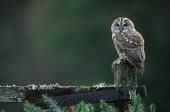 LOOKING OVER TO A TAWNY OWL (STRIX ALUCO) PERCHED ON A GATE, BACKLIT BY EARLY MORNING SUNLIGHT, THE BADENOCH AND STRATHSPEY DISTRICT, HIGHLAND. PIC: PETER CAIRNS/SCOTTISH VIEWPOINT Tel: +44 (0) 131 62... PUBLIC, NMR SUMMER,GORSE,MOSS,LICHEN,BIRD,FAUNA