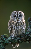 LOOKING OVER TO A TAWNY OWL (STRIX ALUCO) PERCHED ON A TREE BRANCH, THE BADENOCH AND STRATHSPEY DISTRICT, HIGHLAND. PIC: PETER CAIRNS/SCOTTISH VIEWPOINT Tel: +44 (0) 131 622 7174   Fax: +44 (0) 131 62... PUBLIC, NMR SUMMER,MOSS,LICHEN,BIRD,FAUNA,WOODLAND