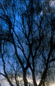 LOOKING OVER TO THE BRANCHES OF A SILHOUETTE OF A SILVER BIRCH (BETULA PENDULA) TREE, SILHOUETTED AGAINST A STORMY EVENING SKY, THE BADENOCH AND STRATHSPEY DISTRICT, HIGHLAND. PIC: PETER CAIRNS/SCOTTI... PUBLIC, NMR SILHOUETTE,DRAMATIC,ATMOSPHERIC,WINTER