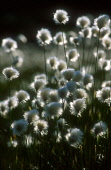 A DETAIL OF THE WHITE FLUFFY HEADS OF COTTON GRASS (ERIOPHORUM ANGUSTIFOLIUM) BACKLIT IN EVENING LIGHT, THE BADENOCH AND STRATHSPEY DISTRICT, HIGHLAND. PIC: PETER CAIRNS/SCOTTISH VIEWPOINT Tel: +44 (0... PUBLIC, NMR SUMMER,FLORA,FIELD