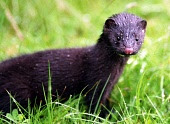 A Wild Mink in Scotland  . The wild mink  is a threat to wildlife in the Western Isles including Taransay and on the Scottish mainland. The alien mink  is being  tracked in a programme and eventually... WILDLIFE