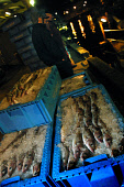 EYEMOUTH, SCOTLAND, UK: Fishermen unloading their catch from a trawler at the port of Eyemouth on Scotland's east coast after fishing in the North Sea for cod, haddock (pictured), whiting and prawns.... Colin McPherson
