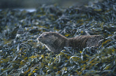 LOOKING OVER TO AN OTTER (LUTRA LUTRA) PHOTOGRAPHED ON THE SEAWEED COVERED SHORELINE, MULL, INNER HEBRIDES. Peter Cairns/ Scottish Viewpoint Tel: +44 (0) 131 622 7174   Fax: +44 (0) 131 622 7175 E-Mai... FAUNA,WILDLIFE