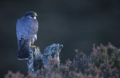 A PEREGRINE FALCON (FALCO PEREGRINUS) PERCHED ON A PINE SNAG ON MOORLAND, BADENOCH AND STRATHSPEY DISTRICT, HIGHLANDPeter Cairns/ Scottish ViewpointTel: +44 (0) 131 622 7174  Fax: +44 (0) 131 622 7175... BIRD,WILDLIFE,FAUNA,BIRDS