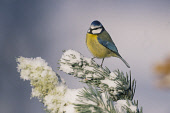 A BLUE TIT (PARUS CAERULEUS) PERCHED ON A SCOTS PINE IN WINTER, BADENOCH AND STRATHSPEY, HIGHLAND. Peter Cairns/ Scottish Viewpoint Tel: +44 (0) 131 622 7174   Fax: +44 (0) 131 622 7175 E-Mail : info@... BIRD,WILDLIFE,FAUNA,BIRDS