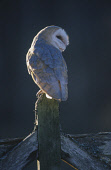 A BARN OWL (TYTO ALBA) PERCHED ON A FARM GATE BACKLIT IN EVENING LIGHT Peter Cairns/ Scottish Viewpoint Tel: +44 (0) 131 622 7174   Fax: +44 (0) 131 622 7175 E-Mail : info@scottishviewpoint.com This p... BIRD,WILDLIFE,FAUNA,BIRDS