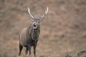 A RED DEER (CERVUS ELAPHUS) STAG Peter Cairns/ Scottish Viewpoint Tel: +44 (0) 131 622 7174   Fax: +44 (0) 131 622 7175 E-Mail : info@scottishviewpoint.com This photograph should be used without prior... ANIMALS,WILDLIFE,FAUNA