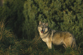A EUROPEAN WOLF IN WOODLAND (CANIS LUPIS) Peter Cairns/ Scottish Viewpoint Tel: +44 (0) 131 622 7174   Fax: +44 (0) 131 622 7175 E-Mail : info@scottishviewpoint.com This photograph should be used with... ANIMALS
