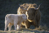 A HIGHLAND COW AND ITS CALF Peter Cairns/ Scottish Viewpoint Tel: +44 (0) 131 622 7174   Fax: +44 (0) 131 622 7175 E-Mail : info@scottishviewpoint.com This photograph should be used without prior perm... ANIMALS,CATTLE
