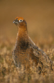 A RED GROUSE MALE (LAGOPUS SCOTICA) IN HEATHER AT IN EARLY SPRING, DEESIDE, ABERDEEN & GRAMPIAN. Peter Cairns/ Scottish Viewpoint Tel: +44 (0) 131 622 7174   Fax: +44 (0) 131 622 7175 E-Mail : info@sc... BIRDS