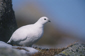 A FEMALE PTARMIGAN (LAGOPUS MUTUS) IN WINTER PLUMAGE PERCHED ON A ROCK IN THE CAIRNGORM MOUNTAINS, HIGHLAND. Peter Cairns/ Scottish Viewpoint Tel: +44 (0) 131 622 7174   Fax: +44 (0) 131 622 7175 E-Ma... BIRDS