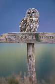 A TAWNY OWL (STRIX ALUCO) IN THE CAIRNGORM MOUNTAINS, HIGHLAND. Peter Cairns/ Scottish Viewpoint Tel: +44 (0) 131 622 7174   Fax: +44 (0) 131 622 7175 E-Mail : info@scottishviewpoint.com This photogra... BIRDS