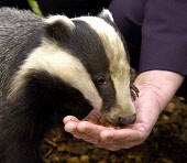 Daffy  a tame badger at Hessilhead Wildlife Rescue Centre  near Beith in Ayrshire feeding from the hand of Allan Wilson MSP Deputy Minister for the Environment as tough new powers to crack down on wil... POLITICS