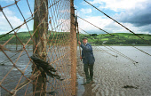 Walter Davidson, the last full-time salmon netter on the Solway in south-west Scotland, cleans weed from his stake net at Creetown, Dumfries and Galloway. Walter is a fourth generation salmon netter a... HERITAGE,TRADITION,SANDY,SAND,PEOPLE,NETTING,NETS,INDUSTRY