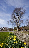 Parton, Dumfries and Galloway. Picture Credit : Paul Tomkins / VisitScotland / Scottish Viewpoint Tel: +44 (0) 131 622 7174   E-Mail : info@scottishviewpoint.com This photograph cannot be used without... Public 2012,spring,sunny,village,cottages,daffodils,narcissus