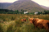 HIGHLAND CATTLE GRAZE IN LONG GRASS IN GLEN COE (IN THE CARE OF THE NATIONAL TRUST), HIGHLAND. PIC: VisitScotland/SCOTTISH VIEWPOINT Tel: +44 (0) 131 622 7174   Fax: +44 (0) 131 622 7175 E-Mail : info... MOUNTAIN,FARMING,ANIMAL,COW,AGRICULTURE,SUMMER,MISTY
