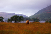 A LONE HIGHLAND COW STANDS MAJESTIC IN LONG GRASS BY LOCH AWE- RUNNING 24 MILES FROM FORD TO THE PASS OF BRANDER, ARGYLL & BUTE. PIC: VisitScotland/SCOTTISH VIEWPOINT Tel: +44 (0) 131 622 7174   Fax:... CATTLE,FARMING,MOUNTAIN,SUMMER,WATER,ANIMAL