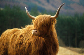 A LONE HIGHLAND COW STANDS MAJESTIC IN A FIELD. PIC: VisitScotland/SCOTTISH VIEWPOINT Tel: +44 (0) 131 622 7174   Fax: +44 (0) 131 622 7175 E-Mail : info@scottishviewpoint.com This photograph can not... FARMING,MOUNTAIN,GENERIC,CATTLE,ANIMAL