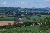 LOOKING OVER CATTLE GRAZING IN A FIELD TO MELROSE- A SMALL TOWN ON THE SOUTH SIDE OF THE RIVER TWEED, WITH A VIEW TO HILLS BEYOND, SCOTTISH BORDERS. PIC: VisitScotland/SCOTTISH VIEWPOINT Tel: +44 (0)... SUSPENSION BRIDGE,AGRICULTURE,FORESTRY,WATER,FARMING,SUMMER,SUNNY