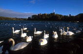 SWANS AND A FLOCK OF SEAGULLS GATHER, ANTICIPATING BEING FED BY THE EDGE OF LINLITHGOW LOCH, WITH A VIEW ACROSS TO THE  PALACE- DATING FROM 1302 AND THE BIRTHPLACE OF MARY QUEEN OF SCOTS IN 1542, BEHI... SPIRE,WATER,BIRDS,HISTORIC SCOTLAND,HERITAGE,SUNNY,AUTUMN,BUILDING