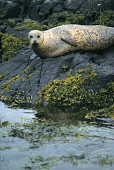 A SEAL ON SEAWEED COVERED ROCKS ON THE FORE SHORE, ISLE OF SKYE, INNER HEBRIDES. PIC: P.TOMKINS/VisitScotland/SCOTTISH VIEWPOINT Tel: +44 (0) 131 622 7174   Fax: +44 (0) 131 622 7175 E-Mail : info@sco... COAST,ISLAND,WATER,WILDLIFE,ANIMAL