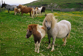 A SHETLAND PONY FOAL WITH ITS MOTHER STANDING IN A FIELD OF BUTTERCUPS AND DAISIES, SHETLAND. PIC: VisitScotland/SCOTTISH VIEWPOINT Tel: +44 (0) 131 622 7174   Fax: +44 (0) 131 622 7175 E-Mail : info@... SUMMER,FARMING,BREED,MANE,ANIMAL