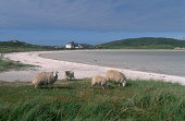 LOOKING OVER TO SHEEP GRAZING BY THE EDGE OF THE BEACH RUNWAY (COCKLESTRAND, VISIBLE) OVER TO THE AIRPORT AT TRAIGH MHOR, THE ISLE OF BARRA, OUTER HEBRIDES. PIC: P.TOMKINS/VisitScotland/SCOTTISH VIEWP... SUNNY,TRANSPORT,SUMMER,ISLAND,COAST,FARMING,AGRICULTURE
