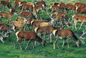 A HERD OF DEER ON A HILLSIDE AT THE HIGHLAND WILDLIFE PARK- WITH BOTH A DRIVE THROUGH AND WALK THROUGH SECTION AND OVER 60 DIFFERENT BREEDS OF ANIMALS AND BIRDS TO BE SEEN, KINCRAIG, BY KINGUSSIE, HIG... ANIMAL,ROYAL ZOOLOGICAL SOCIETY,RARE,FAUNA,EXHIBIT,ATTRACTION,ANTLERS