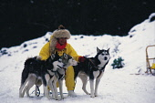 """A WOMAN HUSKY SLED DRIVER ATTENDS TO HER THREE HUSKIES IN GLENMORE FOREST PARK- COVERING THE NORTH WEST SLOPES OF CAIRNGORM AND ORIGINALLY KNOWN AS """"QUEEN'S FOREST"""", NEAR AVIEMORE, HIGHLAND.  PIC: P.T... Public, NMR"""