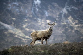 RED DEER STAG IN GLEN COE (GLENCOE), HIGHLAND. PIC: P.TOMKINS/VisitScotland/SCOTTISH VIEWPOINT Tel: +44 (0) 131 622 7174   Fax: +44 (0) 131 622 7175 E-Mail : info@scottishviewpoint.com This photograph... 2006,HIGHLANDS,WINTER,WILDLIFE,SPRING,MOUNTAINS,MOUNTAIN,FAUNA,ANTLERS,ANIMAL