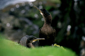 TWO JUVENILE SHAGS PERCHED ON A CLIFF EDGE. PIC:PAUL TOMKINS/VisitScotland/SCOTTISH VIEWPOINT Tel: +44 (0) 131 622 7174   Fax: +44 (0) 131 622 7175 E-Mail : info@scottishviewpoint.com This photograph... BIRD,WILDLIFE,FAUNA,SEABIRD