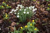 SNOWDROPS (GALANTHUS)  IN THE WOODLANDS AT CAMBO GARDENS  DURING THE SCOTTISH SNOWDROP FESTIVAL (2007).  CAMBO HOUSE AND GARDENS, KINGSBARNS, NR ST ANDREWS, FIFE.  PIC: P.TOMKINS/VisitScotland/SCOTTIS...
