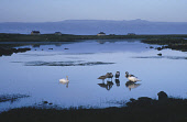 SWANS ARE REFLECTED IN CALM WATER AT GARRYNAMONIE (GAELIC : GEARRRAIDH NA MONADH) AT THE SOUTH END OF SOUTH UIST, OUTER HEBRIDES. Picture: SUE ANDERSON / SCOTTISH VIEWPOINT Tel: +44 (0) 131 622 7174... ATMOSPHERIC,WILDLIFE,WATER,REFLECTION,ISLE,ISLANDS,ISLAND,CYGNETS,CYGNET,BIRDS,BIRD