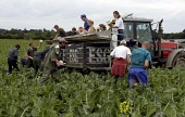 Eastern European students harvest cauliflowers growing in a farm field at Glamis Estate in Angus. Vegetable growers in Scotland rely on seasonal labour from the new European Union (EC) eastern europea... FARMING,TRACTOR,POLITICS