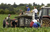 Eastern European students  harvest cauliflowers growing in a farm field at  Glamis Estate in Angus.  Vegetable growers in Scotland rely on seasonal labour from the new European Union (EC)  eastern eur... FARMING,TRACTOR,POLITICS