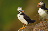 PUFFINS WITH SAND EELS ON THE THE BULLENS OF BUCHAN, NEAR CRUDEN BAY, ABERDEENSHIRE. PIC: S.BUCHANAN/SCOTTISH VIEWPOINT Tel: +44 (0) 131 622 7174   Fax: +44 (0) 131 622 7175 E-Mail : info@scottishview... BIRD,WILDLIFE,SUNNY,SEABIRDS,SEABIRD,SCOTLAND,PUFFIN,FAUNA,BIRDS