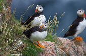 PUFFINS ON THE THE BULLENS OF BUCHAN, NEAR CRUDEN BAY, ABERDEENSHIRE. PIC: S.BUCHANAN/SCOTTISH VIEWPOINT Tel: +44 (0) 131 622 7174   Fax: +44 (0) 131 622 7175 E-Mail : info@scottishviewpoint.com This... BIRD,WILDLIFE,SUNNY,SEABIRDS,SEABIRD,SCOTLAND,PUFFIN,FAUNA,BIRDS