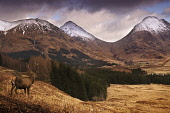 A red deer stag in Glen Etive, with a view to snow covered mountains beyond, Highlands of Scotland. David Queenan / SV 2008,winter,atmospheric,dramatic,activity,activities,walk,walking,hills,hill,hillwalking,mountain,animal,wild,fauna,mammal,antlers,tree,trees,forestry,highland