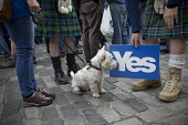 A West Highland terrier looking at a Yes sign on the Royal Mile before the start of a pro-Independence march and rally in the Scottish capital. The event, which was staged in support of the pro-Indepe... Colin McPherson / Scottish Viewp 2013,SNP,Salmond,Scots,Scotsman,Scottish,National,Party,Scottishness,UK,United,Kingdom,devolution,kilt,kilts,men,movements,nationalism,politian,politicians,politics,tartan,vote,voters,voting