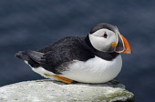 A puffin (fratercula arctica) sitting on a rock. Mark Hicken / Scottish Viewpoint 2013,summer,fauna,british,bird,birds,seabird,seabirds,marine,peleagic,coast,coastal,wildlife