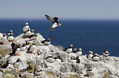 A Puffin (fratercula arctica) colony on a cliff top. Mark Hicken / Scottish Viewpoint 2013,summer,fauna,british,bird,birds,seabird,seabirds,marine,peleagic,coast,coastal,wildlife,rock,rocks,water,flight,fly,flying