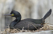 A shag (phalacrocorax aristotelis) sitting on its nest on a cliff edge. Mark Hicken / Scottish Viewpoint 2013,summer,fauna,british,bird,birds,seabird,seabirds,marine,peleagic,coast,coastal,wildlife,nesting