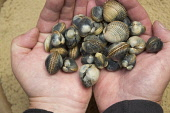 A handful of cockles, Orkney. Scott Whitelaw / Scottish Viewpo 2013,summer,nature,island,islands,isle,isles,hand,food,hands,palm,palms,bivalve,edible,shell,shells