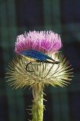 A detail of fishing fly photographed on a thistle head with a background of tartan. Scott Whitelaw / Scottish Viewpo 2013,studio,set,up,setup,set-up,activity,activities,angling,fish,fishing,flower,purple,national,symbol,scotland,flora