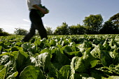 PICKING ROMAINE LETTUCE IN FIFE, SCOTLAND. Paul Dodds / Scottish Viewpoint FARMING,FARMER,PRODUCE,LOCAL,FOOD,FRESH,PROVENANCE,INGREDIENT,INGREDIENTS,SALAD,VEGETABLES,VEGETABLE,agriculture,RAW,lettuces,salads,crop,crops,people