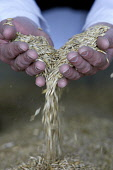 GRAIN IN HANDS Paul Dodds / Scottish Viewpoint grain,harvest,hand,seeds,seed,hands,pour,pouring,agriculture,people,crop,crops