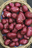 FRESHLY DUG  POTATOES FROM SCOTLAND. Paul Dodds / Scottish Viewpoint no people,food,crop,crops,tatties,agriculture,arable,field,fields,farm,farms,farming,potato,red,basket